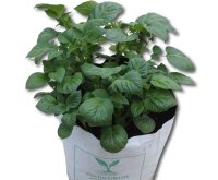 An example of a strong, healthy potato plant grown using our kit.